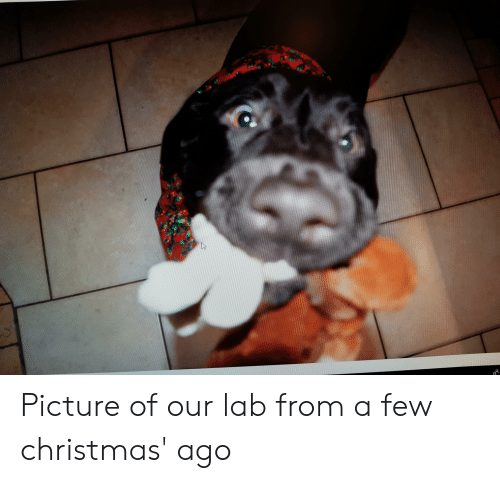 Christmas, Picture, and  Ago: Picture of our lab from a few christmas' ago