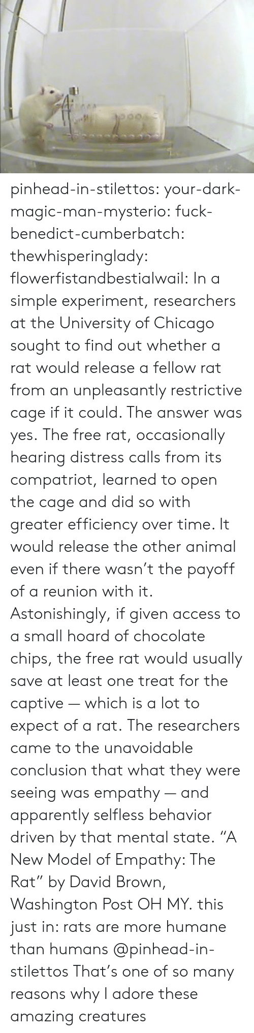 "Apparently, Chicago, and Tumblr: pinhead-in-stilettos:  your-dark-magic-man-mysterio:  fuck-benedict-cumberbatch:   thewhisperinglady:  flowerfistandbestialwail:   In a simple experiment, researchers at the University of Chicago sought to find out whether a rat would release a fellow rat from an unpleasantly restrictive cage if it could. The answer was yes. The free rat, occasionally hearing distress calls from its compatriot, learned to open the cage and did so with greater efficiency over time. It would release the other animal even if there wasn't the payoff of a reunion with it. Astonishingly, if given access to a small hoard of chocolate chips, the free rat would usually save at least one treat for the captive — which is a lot to expect of a rat. The researchers came to the unavoidable conclusion that what they were seeing was empathy — and apparently selfless behavior driven by that mental state. ""A New Model of Empathy: The Rat"" by David Brown, Washington Post   OH MY.  this just in: rats are more humane than humans   @pinhead-in-stilettos  That's one of so many reasons why I adore these amazing creatures"