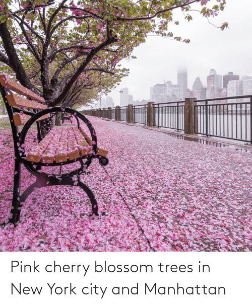 in-new-york-city: Pink cherry blossom trees in New York city and Manhattan