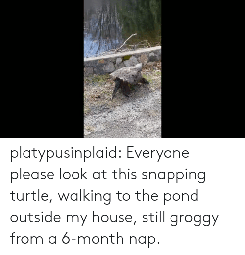 snapping: platypusinplaid: Everyone please look at this snapping turtle, walking to the pond outside my house, still groggy from a 6-month nap.