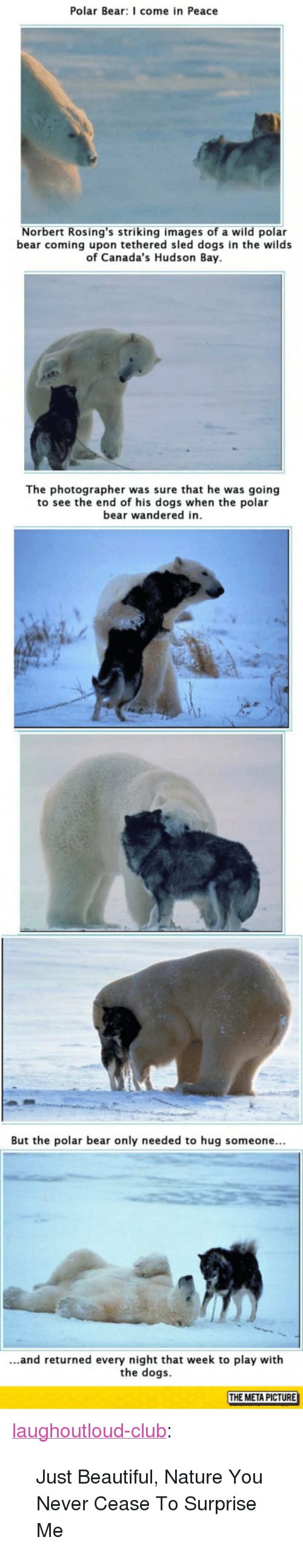 "Beautiful, Club, and Dogs: Polar Bear: I come in Peace  Norbert Rosing's striking images of a wild polar  bear coming upon tethered sled dogs in the wilds  of Canada's Hudson Bay  The photographer was sure that he was going  to see the end of his dogs when the polar  bear wandered in  But the polar bear only needed to hug someone...  ...and returned every night that week to play with  the dogs  THE META PICTURE <p><a href=""http://laughoutloud-club.tumblr.com/post/154691158076/just-beautiful-nature-you-never-cease-to-surprise"" class=""tumblr_blog"">laughoutloud-club</a>:</p>  <blockquote><p>Just Beautiful, Nature You Never Cease To Surprise Me</p></blockquote>"