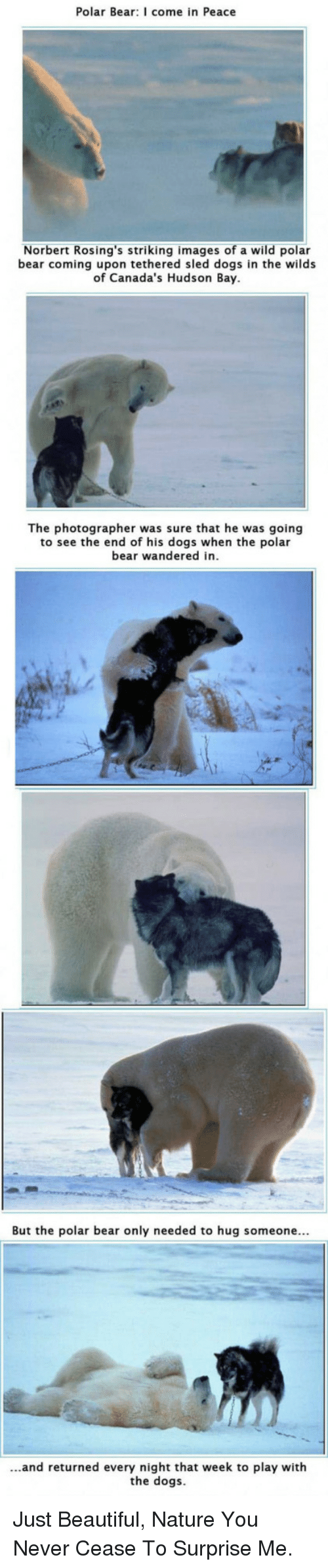 Beautiful, Dogs, and Bear: Polar Bear: I come in Peace  Norbert Rosing's striking images of a wild polar  bear coming upon tethered sled dogs in the wilds  of Canada's Hudson Bay  of Canada's Hu  The photographer was sure that he was going  to see the end of his dogs when the polar  bear wandered in  But the polar bear only needed to hug someone...  ...and returned every night that week to play with  the dogs <p>Just Beautiful, Nature You Never Cease To Surprise Me.</p>