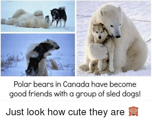 Cute, Dogs, and Friends: Polar bears in Canada have become  good friends with a group of sled dogs! Just look how cute they are 🙈