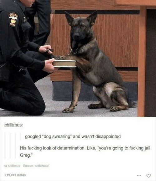 "Disappointed, Fucking, and Jail: POLCE  chillimus:  googled ""dog swearing"" and wasn't disappointed  His fucking look of determination. Like, ""you're going to fucking jail  Greg.""  chillimus Source: seifukucat  719.081 notes"