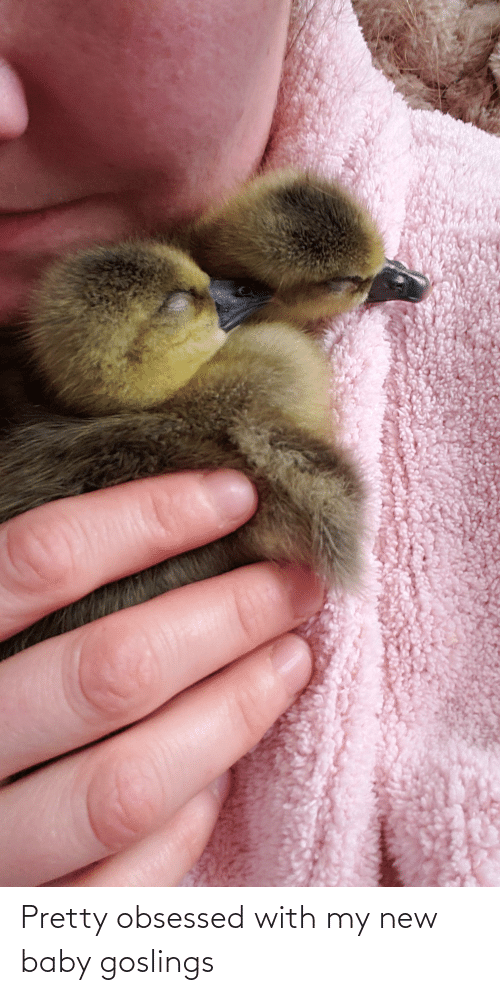 obsessed: Pretty obsessed with my new baby goslings