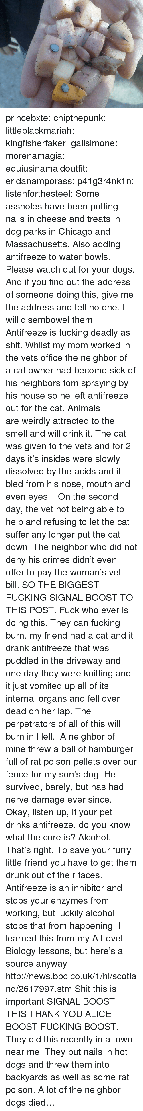 Animals, Chicago, and Dogs: princebxte:  chipthepunk:  littleblackmariah:  kingfisherfaker:  gailsimone:  morenamagia:  equiusinamaidoutfit:  eridanamporass:  p41g3r4nk1n:  listenforthesteel:  Some assholes have been putting nails in cheese and treats in dog parks in Chicago and Massachusetts. Also adding antifreeze to water bowls.  Please watch out for your dogs. And if you find out the address of someone doing this, give me the address and tell no one. I will disembowel them.  Antifreeze is fucking deadly as shit. Whilst my mom worked in the vets office theneighborof acat ownerhad become sick of hisneighborstom spraying by his house so he left antifreeze out for the cat. Animals areweirdlyattracted to the smell and will drink it. The cat was given to the vets and for 2 days it's insides were slowly dissolved by the acids and it bled from his nose, mouth and even eyes.  On the second day, the vet not being able to help and refusing to let the cat suffer any longer put the cat down. The neighbor who did not deny his crimes didn't even offer to pay the woman's vet bill. SO THE BIGGEST FUCKING SIGNAL BOOST TO THIS POST. Fuck who ever is doing this. They can fucking burn.   my friend had a cat and it drank antifreeze that was puddled in the driveway and one day they were knitting and it just vomited up all of its internal organs and fell over dead on her lap.  The perpetrators of all of this will burn in Hell.  A neighbor of mine threw a ball of hamburger full of rat poison pellets over our fence for my son's dog. He survived, barely, but has had nerve damage ever since.  Okay, listen up, if your pet drinks antifreeze, do you know what the cure is? Alcohol. That's right. To save your furry little friend you have to get them drunk out of their faces. Antifreeze is an inhibitor and stops your enzymes from working, but luckily alcohol stops that from happening. I learned this from my A Level Biology lessons, but here's a source anyway http://news.bbc.co.uk/1/hi/scotland/2