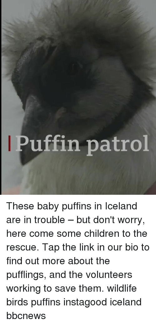 Children, Memes, and Birds: Puffin patrol These baby puffins in Iceland are in trouble – but don't worry, here come some children to the rescue. Tap the link in our bio to find out more about the pufflings, and the volunteers working to save them. wildlife birds puffins instagood iceland bbcnews