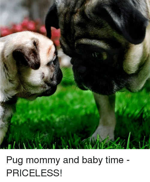 Memes, Pugs, and 🤖: Pug mommy and baby time - PRICELESS!