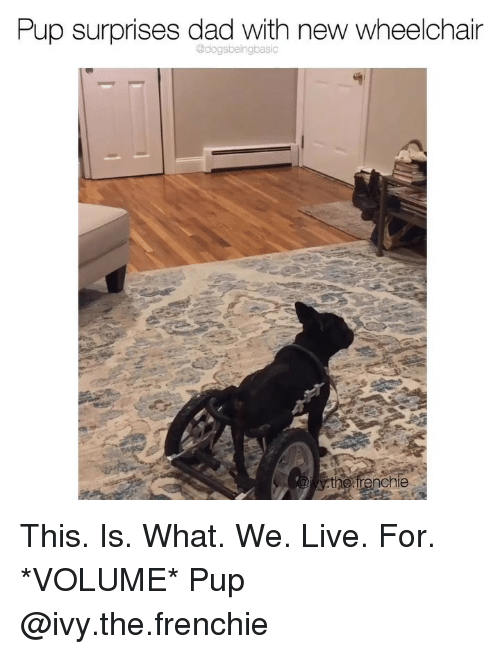 Dad, Memes, and Live: Pup surprises dad with new wheelchain  irenchie This. Is. What. We. Live. For. *VOLUME* Pup @ivy.the.frenchie