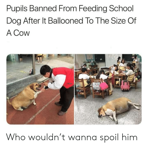 cow: Pupils Banned From Feeding School  Dog After It Ballooned To The Size Of  A Cow  EE Who wouldn't wanna spoil him