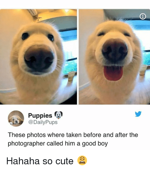 Cute, Puppies, and Taken: Puppies  @DailyPups  These photos where taken before and after the  photographer called him a good boy Hahaha so cute 😩