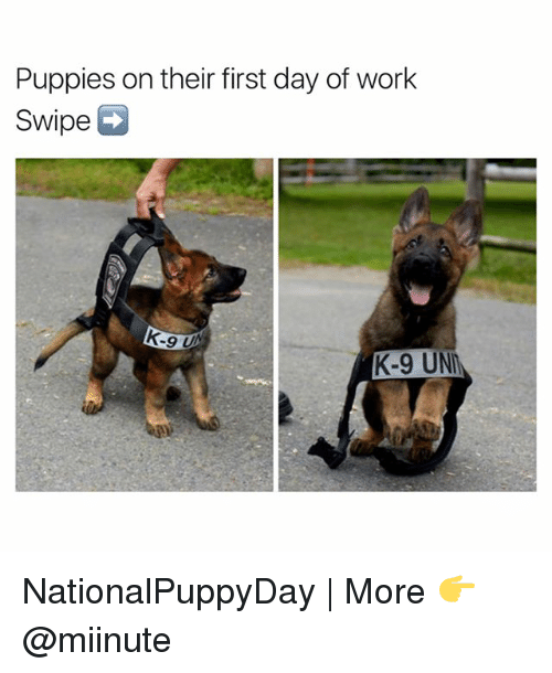 Funny, Unm, and K-9: Puppies on their first day of work  swipe  K-9 UNM NationalPuppyDay | More 👉 @miinute