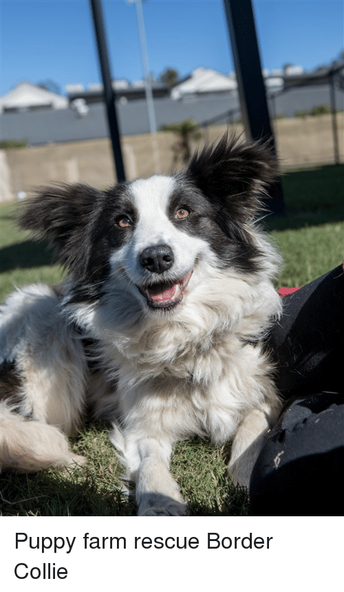 Border Collie, Puppy, and Collie