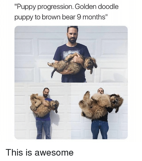 "Funny, Bear, and Doodle: ""Puppy progression. Golden doodle  puppy to brown bear 9 months"" This is awesome"