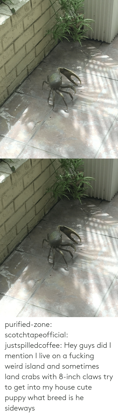 inch: purified-zone: scotchtapeofficial:  justspilledcoffee:  Hey guys did I mention I live on a fucking weird island and sometimes land crabs with 8-inch claws try to get into my house  cute puppy what breed is he  sideways