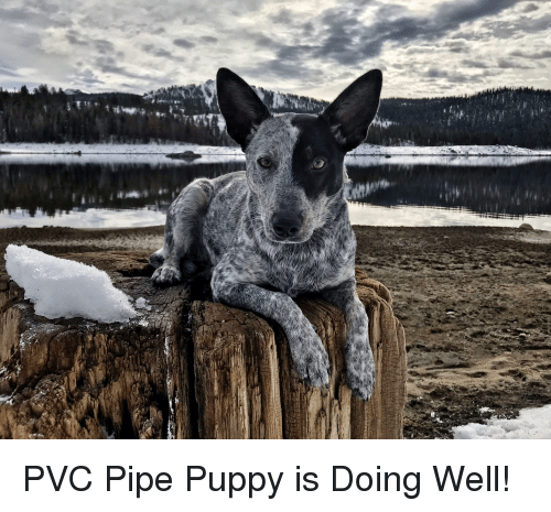 Puppy, Pvc Pipe, and Pvc