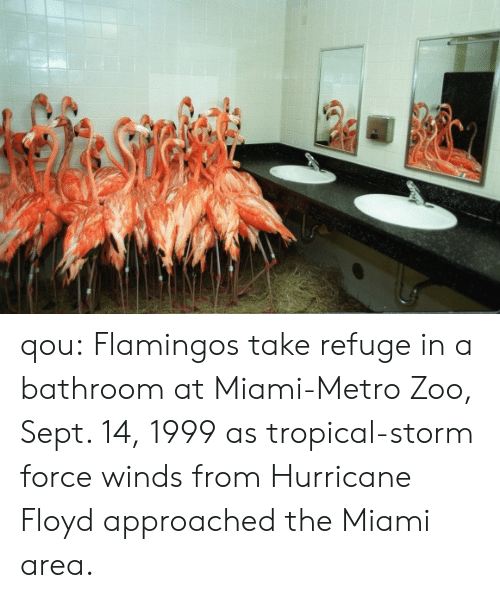 Tumblr, Blog, and Http: qou:   Flamingos take refuge in a bathroom at Miami-Metro Zoo, Sept. 14, 1999 as tropical-storm force winds from Hurricane Floyd approached the Miami area.