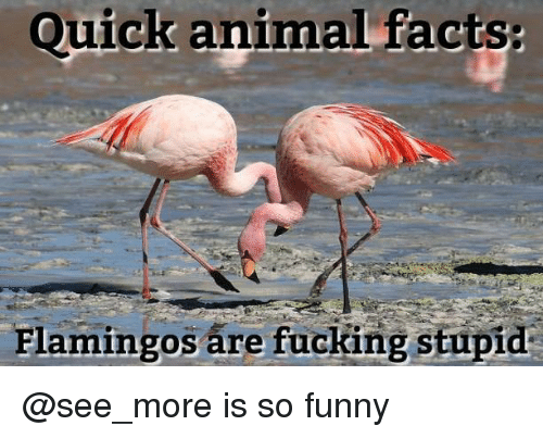 Facts, Fucking, and Funny: Quick animal facts  Flamingos are fucking stupid @see_more is so funny