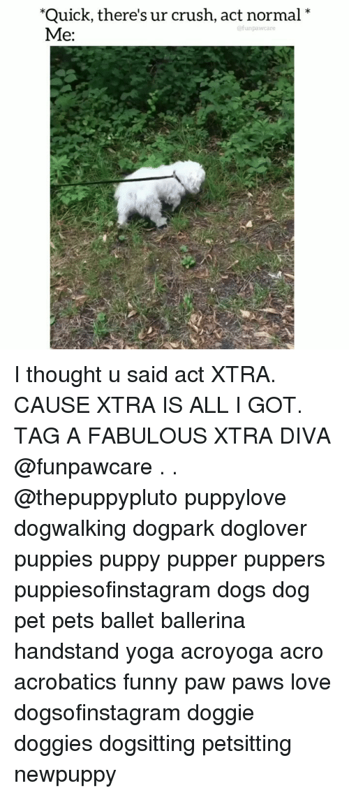 Crush, Dogs, and Funny: Quick, there's ur crush, act normal  '*  @funpawcare  Me: I thought u said act XTRA. CAUSE XTRA IS ALL I GOT. TAG A FABULOUS XTRA DIVA @funpawcare . . @thepuppypluto puppylove dogwalking dogpark doglover puppies puppy pupper puppers puppiesofinstagram dogs dog pet pets ballet ballerina handstand yoga acroyoga acro acrobatics funny paw paws love dogsofinstagram doggie doggies dogsitting petsitting newpuppy