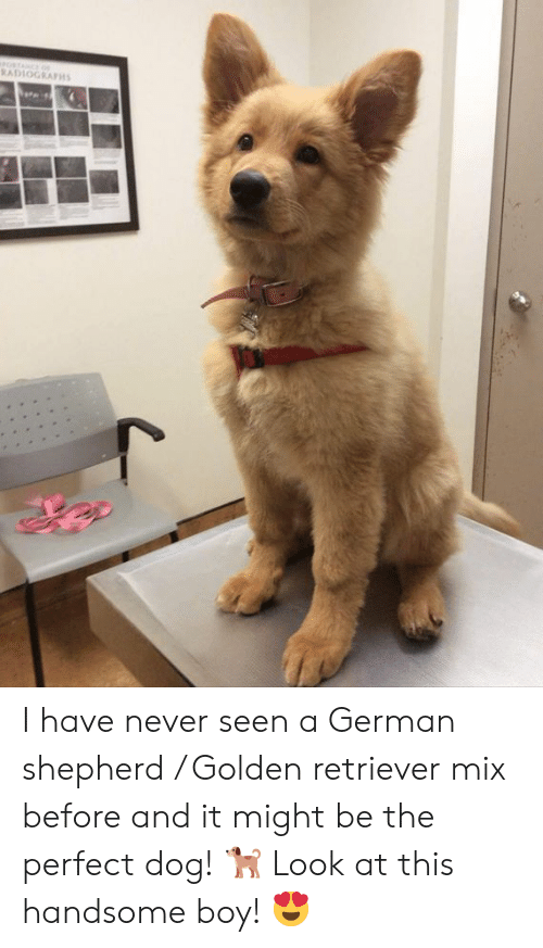 Handsome Boy: RADLOGRAPH I have never seen a German shepherd / Golden retriever mix before and it might be the perfect dog! 🐕  Look at this handsome boy! 😍