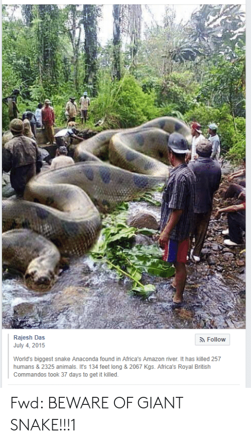Amazon, Anaconda, and Animals: Rajesh Das  July 4, 2015  5 FolloW  World's biggest snake Anaconda found in Africa's Amazon river. It has killed 257  humans & 2325 animals. It's 134 feet long & 2067 Kgs. Africa's Royal British  Commandos took 37 days to get it killed Fwd: BEWARE OF GIANT SNAKE!!!1