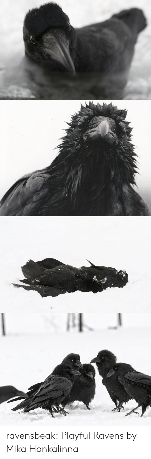 Tumblr, Blog, and Http: ravensbeak: Playful Ravens by Mika Honkalinna