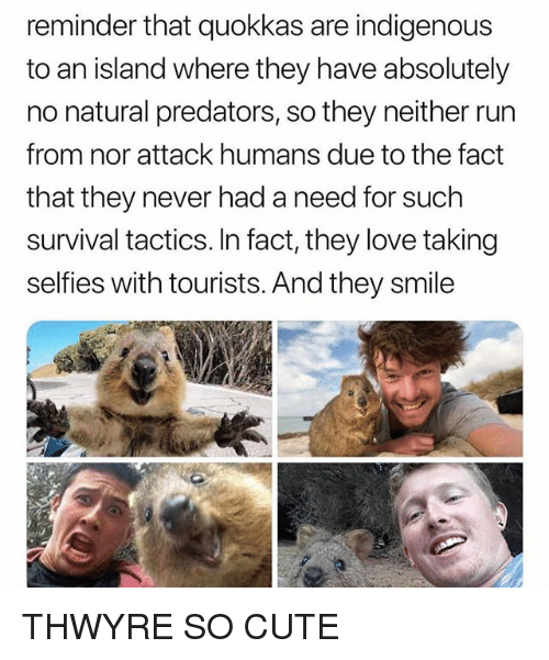 indigenous: reminder that quokkas are indigenous  to an island where they have absolutely  no natural predators, so they neither run  from nor attack humans due to the fact  that they never had a need for such  survival tactics. In fact, they love taking  selfies with tourists. And they smile THWYRE SO CUTE