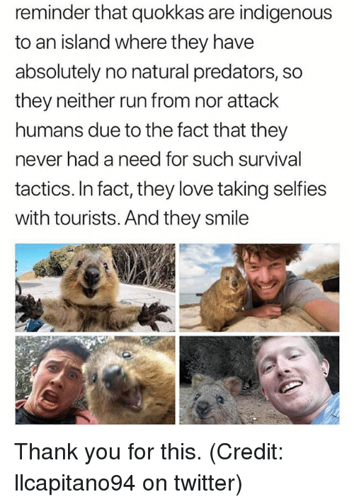 indigenous: reminder that quokkas are indigenous  to an island where they have  absolutely no natural predators, so  they neither run from nor attack  humans due to the fact that they  never had a need for such survival  tactics. In fact, they love taking selfies  with tourists. And they smile Thank you for this. (Credit: llcapitano94 on twitter)