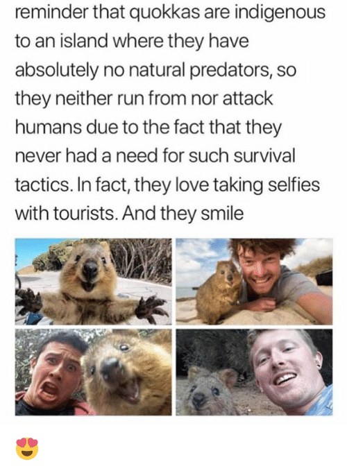 indigenous: reminder that quokkas are indigenous  to an island where they have  absolutely no natural predators, so  they neither run from nor attack  humans due to the fact that they  never had a need for such survival  tactics. In fact, they love taking selfies  with tourists. And they smile 😍