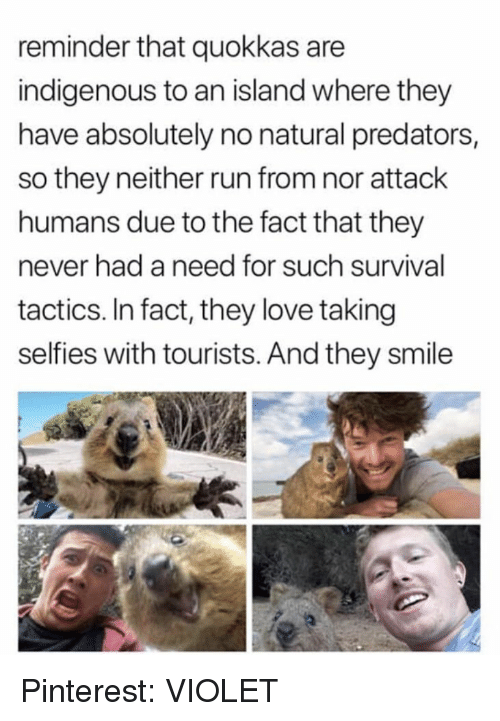 indigenous: reminder that quokkas are  indigenous to an island where they  have absolutely no natural predators,  so they neither run from nor attack  humans due to the fact that they  never had a need for such survival  tactics, In fact, they love taking  selfies with tourists. And they smile Pinterest: VIOLET