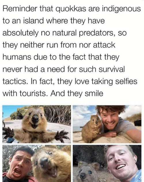 Love, Memes, and Run: Reminder that quokkas are indigenous  to an island where they have  absolutely no natural predators, so  they neither run from nor attack  humans due to the fact that they  never had a need for such survival  tactics. In fact, they love taking selfies  with tourists. And they smile