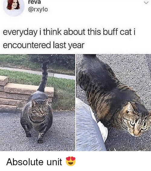 Dank Memes, Cat, and Think: reva  @rxylo  everyday i think about this buff cat i  encountered last year Absolute unit 😍