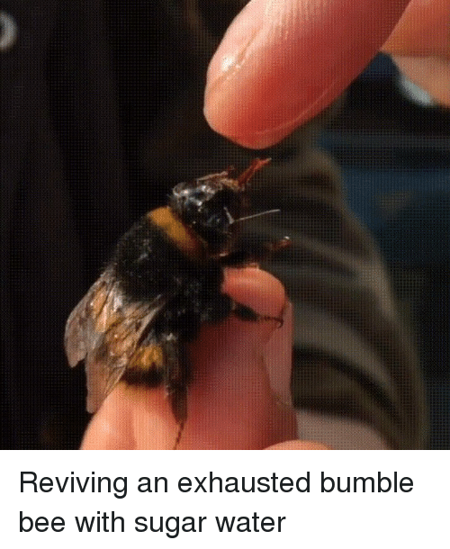 Sugar, Water, and Bumble: Reviving an exhausted bumble bee with sugar water