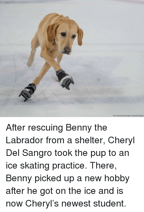 Memes, Pup, and 🤖: Rick Vierkandt/Bark Gallery/Cheryl Del Sangro After rescuing Benny the Labrador from a shelter, Cheryl Del Sangro took the pup to an ice skating practice. There, Benny picked up a new hobby after he got on the ice and is now Cheryl's newest student.