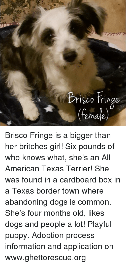 Dogs, Memes, and American: rlSCD Tr  (female) Brisco Fringe is a bigger than her britches girl!  Six pounds of who knows what, she's an All American Texas Terrier!  She was found in a cardboard box in a Texas border town where abandoning dogs is common.  She's four months old, likes dogs and people a lot!  Playful puppy.  Adoption process information and application on www.ghettorescue.org