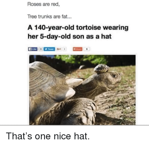 Trunks, Tree, and Fat: Roses are red,  Tree trunks are fat...  A 140-year-old tortoise wearing  her 5-day-old son as a hat  A Lke <p>That's one nice hat.</p>