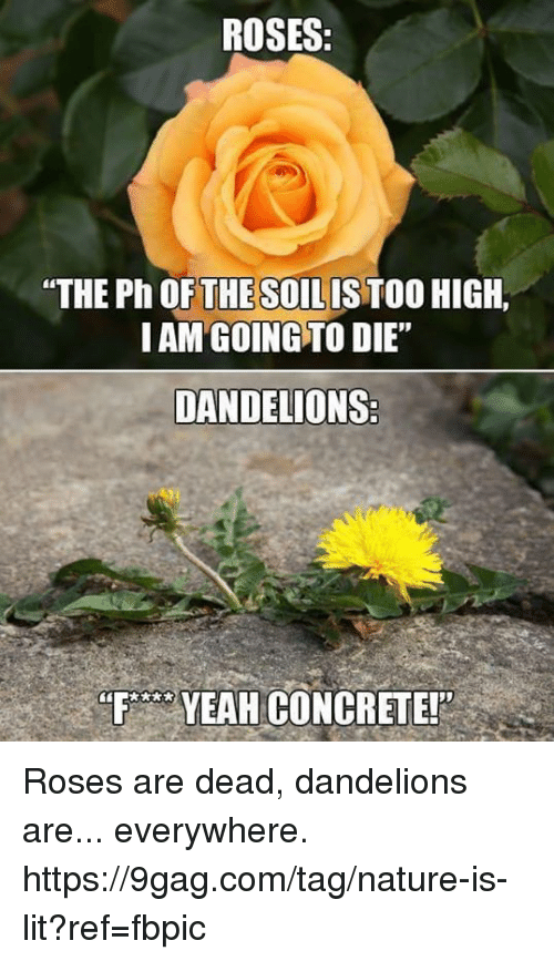 "9gag, Dank, and Lit: ROSES  ""THE Ph OFTHESOILIS TOO HIGH,  I AM GOING TO DIE""  DANDELIONS  FYEAH CONCRETE! Roses are dead, dandelions are... everywhere. https://9gag.com/tag/nature-is-lit?ref=fbpic"