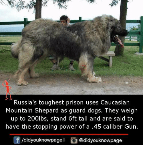 Dogs, Memes, and Prison: Russia's toughest prison uses Caucasian  Mountain Shepard as guard dogs. They weigh  up to 200lbs, stand 6ft tall and are said to  have the stopping power of a .45 caliber Gun.  /didyouknowpagel @didyouknowpage