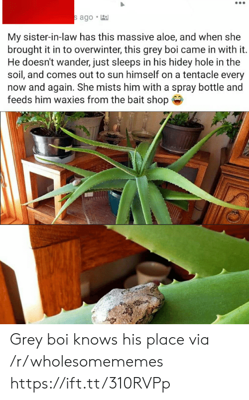 In Law: s ago  My sister-in-law has this massive aloe, and when she  brought it in to overwinter, this grey boi came in with it.  He doesn't wander, just sleeps in his hidey hole in the  soil, and comes out to sun himself on a tentacle every  now and again. She mists him with a spray bottle and  feeds him waxies from the bait shop Grey boi knows his place via /r/wholesomememes https://ift.tt/310RVPp