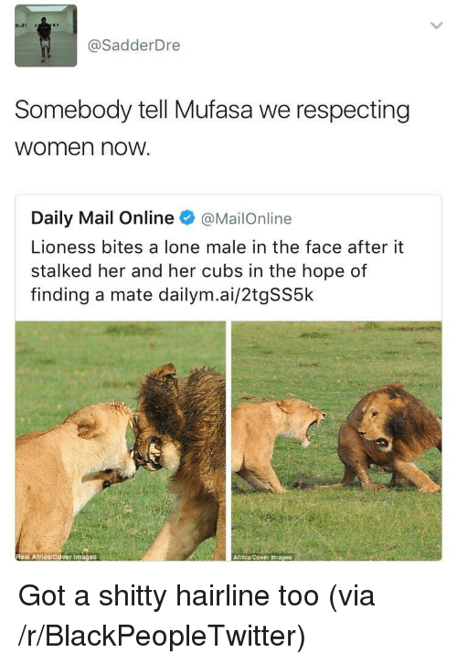 Africa, Blackpeopletwitter, and Hairline: @SadderDre  Somebody tell Mufasa we respecting  women nowW  Daily Mail Online @MailOnline  Lioness bites a lone male in the face after it  stalked her and her cubs in the hope of  finding a mate dailym.ai/2tgSS5k  Real Atrica/Cover Images  Africa Cover Images <p>Got a shitty hairline too (via /r/BlackPeopleTwitter)</p>