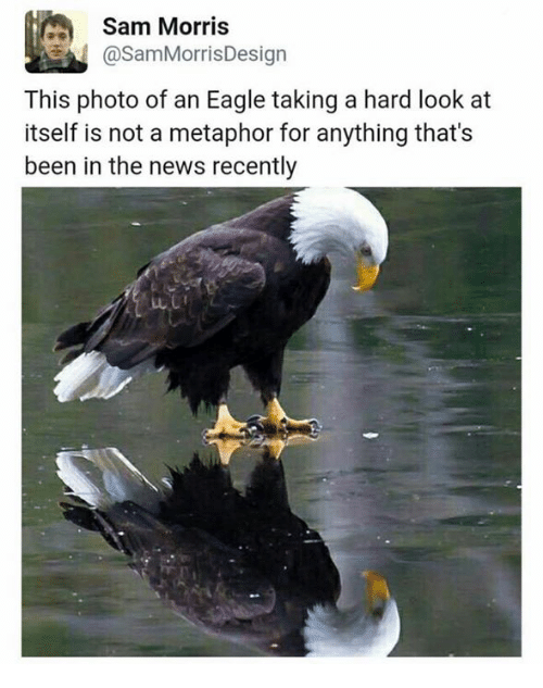 News, Eagle, and Metaphor: Sam Morris  CasamMorris Design  This photo of an Eagle taking a hard look at  itself is not a metaphor for anything that's  been in the news recently