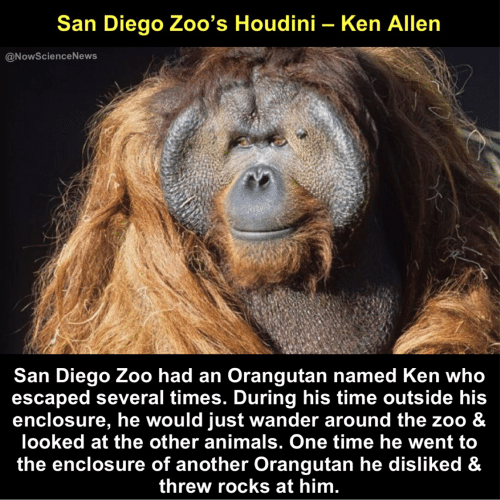 Animals, Ken, and San Diego: San Diego Zoo's Houdini - Ken Allen  @NowScienceNews  San Diego Zoo had an Orangutan named Ken who  escaped several times. During his time outside his  enclosure, he would just wander around the zoo &  looked at the other animals. One time he went to  the enclosure of another Orangutan he disliked &  threw rocks at him
