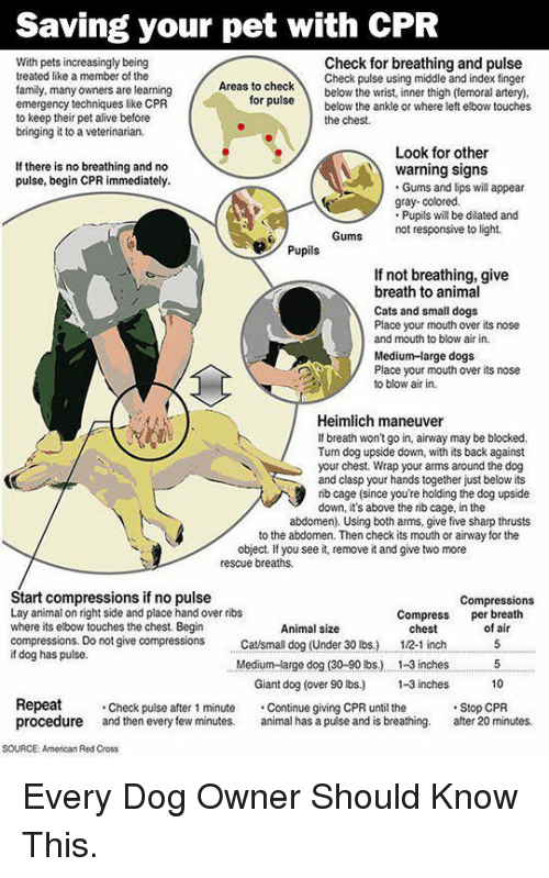 ruse: Saving your pet with CPR  With pets increasingly being  treated like a member of the  family, many owners are learning  emergency techniques like CPR  to keep their pet alive before  bringing it to a veterinarian.  Check for breathing and pulse  Check pulse using middle and index finger  as to checkbelow the wrist, inner thigh (temoral artery)  ruse below the ankle or where left elbow touches  for  the chest.  Look for other  If there is no breathing and no  pulse, begin CPR immediately.  warning signs  Gums and lips will appear  gray- colored.  Pupils will be dilated and  not responsive to light.  Pupils  If not breathing, give  breath to animal  Cats and small dogs  Place your mouth over its nose  and mouth to blow air in.  Medium-large dogs  Place your mouth over its nose  to blow air in.  Heimlich maneuver  If breath won't go in, airway may be blocked.  Tun dog upside down, with its back against  your chest. Wrap your arms around the dog  and clasp your hands together just below its  rib cage (since you're holding the dog upside  down, it's above the rib cage, in the  abdomen). Using both arms, give five sharp thrusts  to the abdomen. Then check its mouth or airway for the  object. If you see it, remove it and give two more  rescue breaths.  Start compressions if no pulse  Lay animal on right side and place hand over ribs  where its elbow touches the chest. Begin  compressions. Do not give compressions tsmall dog (Under 30 lbs.)  if dog has pulse.  Compressions  Compress per breath  Animal size  chest  12-1 inch  of air  Medium-arge dog (30-90 lbs.) . 1-3 inches5  10  Giant dog (over 90 lbs) -3 inches  Repeat  procedure and then every few minutes. al has a pulse and is breathing. after 20 minutes.  Check pulse after 1 minute Continue giving CPR until the  Stop CPR  SOURCE: American Red Cross <p>Every Dog Owner Should Know This.</p>