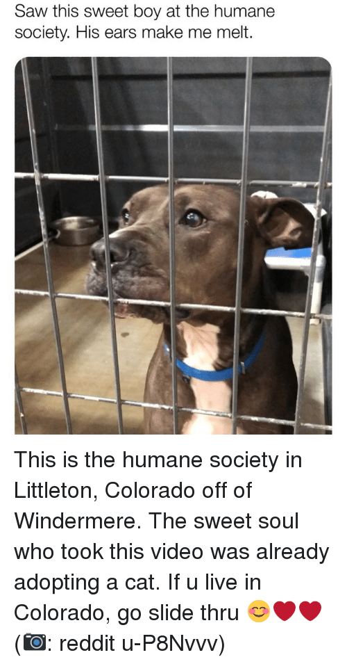 Memes, Reddit, and Saw: Saw this sweet boy at the humane  society. His ears make me melt. This is the humane society in Littleton, Colorado off of Windermere. The sweet soul who took this video was already adopting a cat. If u live in Colorado, go slide thru 😊❤️❤️ (📷: reddit u-P8Nvvv)