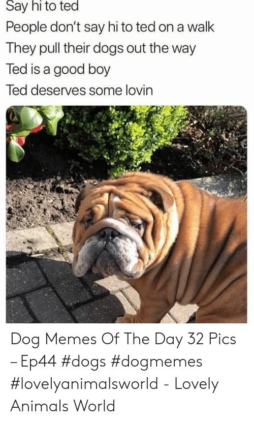 Animals, Dogs, and Memes: Say hi to ted  People don't say hi to ted on a walk  They pull their dogs out the way  Ted is a good boy  led deserves some lovin Dog Memes Of The Day 32 Pics – Ep44 #dogs #dogmemes #lovelyanimalsworld - Lovely Animals World