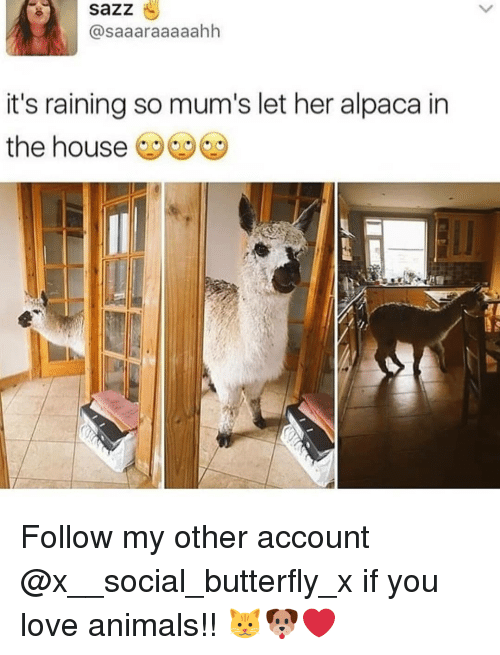 Animals, Love, and Memes: sazz  @saaaraaaaahh  it's raining so mum's let her alpaca in  the house Follow my other account @x__social_butterfly_x if you love animals!! 🐱🐶❤