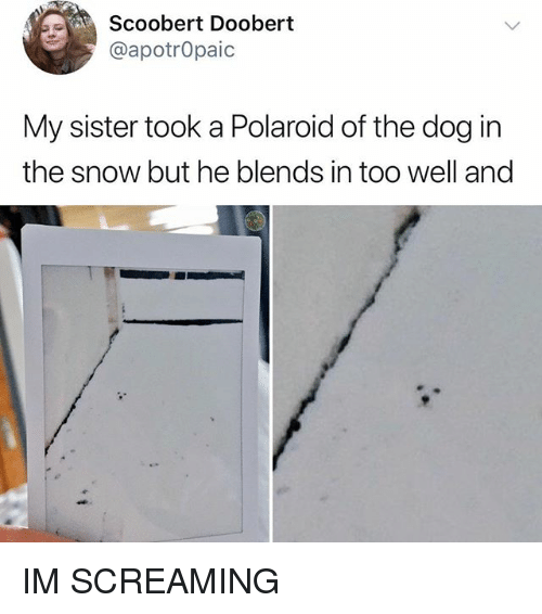 Memes, Snow, and 🤖: Scoobert Doobert  @apotrOpaic  My sister took a Polaroid of the dog in  the snow but he blends in too well and IM SCREAMING