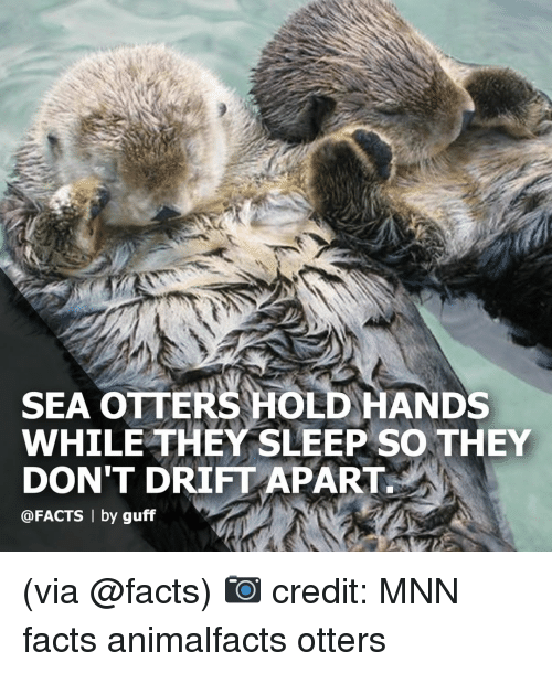 Facts, Memes, and Otters: SEA OTTERS HOLD HANDS  WHILE THEY SLEEP SO THEY  DON'T DRIFT APART  @FACTS | by guff (via @facts) 📷 credit: MNN facts animalfacts otters