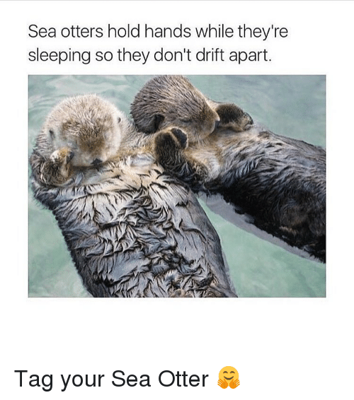 Memes, Otters, and 🤖: Sea otters hold hands while they're  sleeping so they don't drift apart. Tag your Sea Otter 🤗
