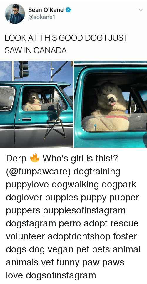 Animals, Dogs, and Funny: Sean O'Kane  @sokane1  LOOK AT THIS GOOD DOG I JUST  SAW、IN CANADA Derp 🔥 Who's girl is this!? (@funpawcare) dogtraining puppylove dogwalking dogpark doglover puppies puppy pupper puppers puppiesofinstagram dogstagram perro adopt rescue volunteer adoptdontshop foster dogs dog vegan pet pets animal animals vet funny paw paws love dogsofinstagram